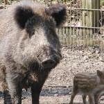 Wildschwein Lucy
